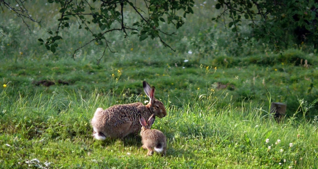 The baby hare in a calm moment with his father