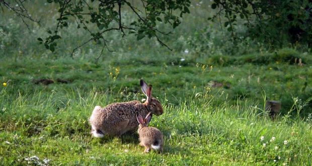 Der Baby-Hase in einem ruhigen Moment mit seinem Vater